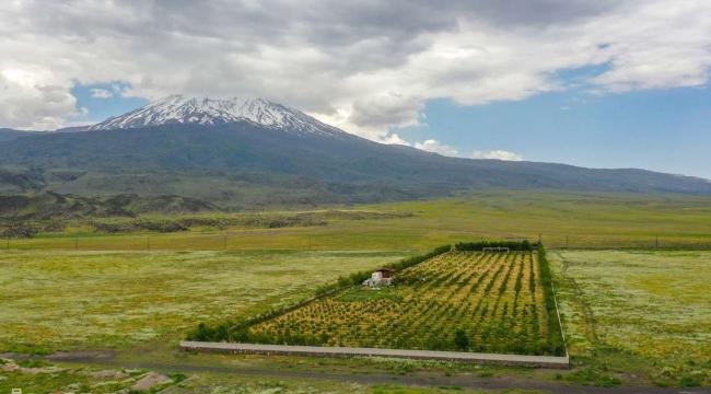 Ağrı Dağı'nın meyvelerini yetiştiriyor