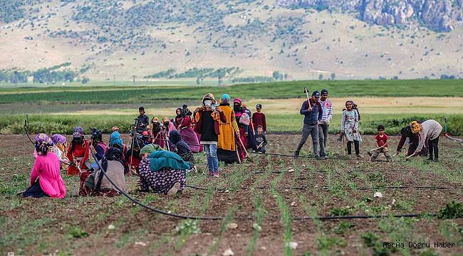 Tarım işçilerinin zorlu hayat serüveni
